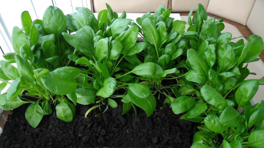 Как вырастить шпинат на подоконнике - сочная зелень круглый год