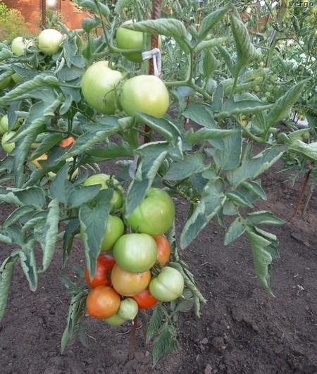 Как вырастить томат Бобкат в открытом грунте