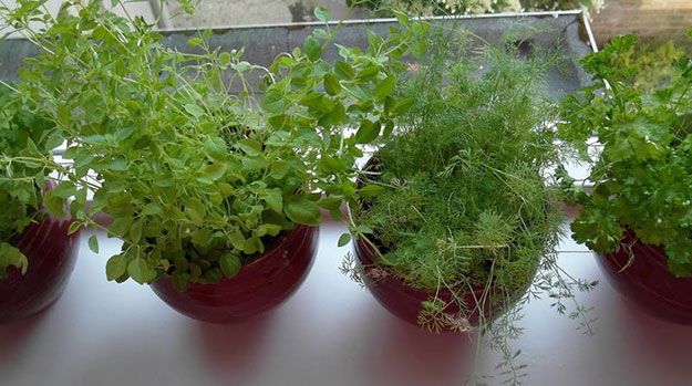 Как вырастить зеленый укроп на подоконнике своими руками