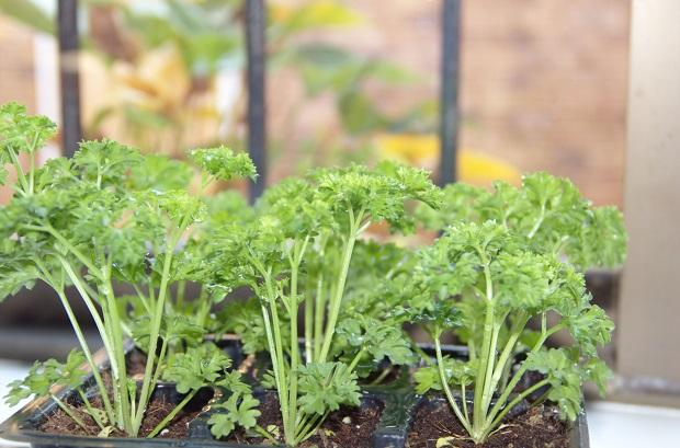Какой сорт петрушки выбрать для выращивания дома на подоконнике