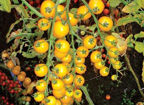 Какой сорт помидор черри выбрать для выращивания в открытом грунте