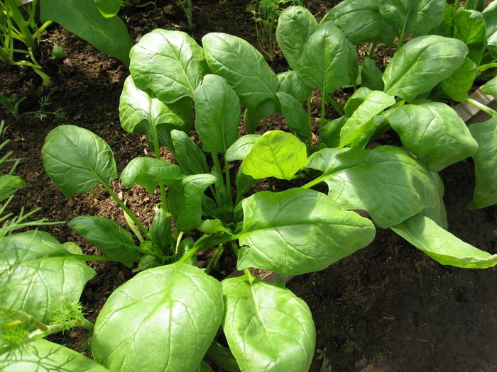 Какой сорт шпината выбрать для посадки на дачном участке