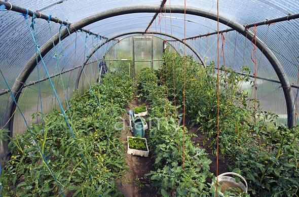 Какой сорт томатов выбрать для выращивания в теплице из поликарбоната