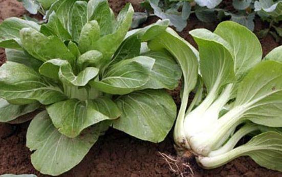 Капуста пак чой - сбор урожая, использование культуры для приготовления блюд