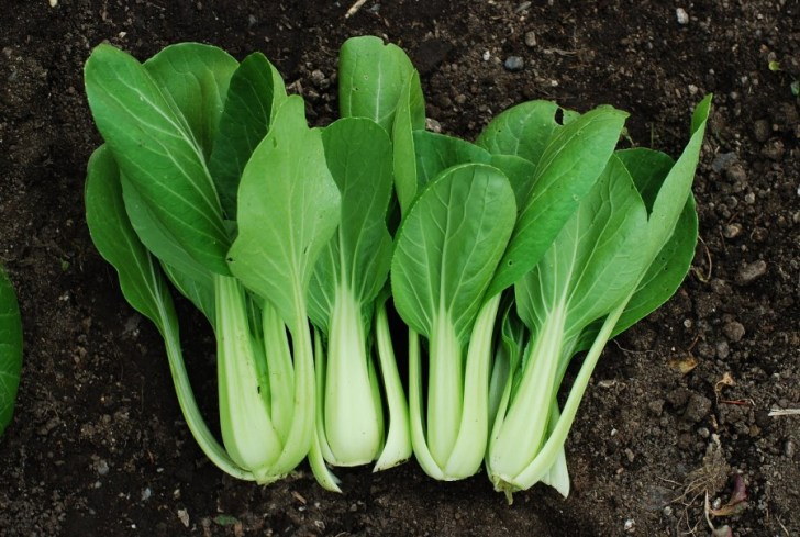 Китайская капуста выращивание и уход, сбор урожая
