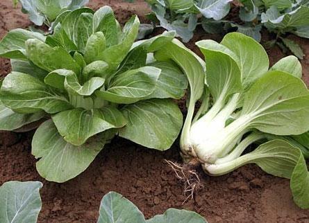 Китайская капуста выращивание и уход - советы начинающему дачнику