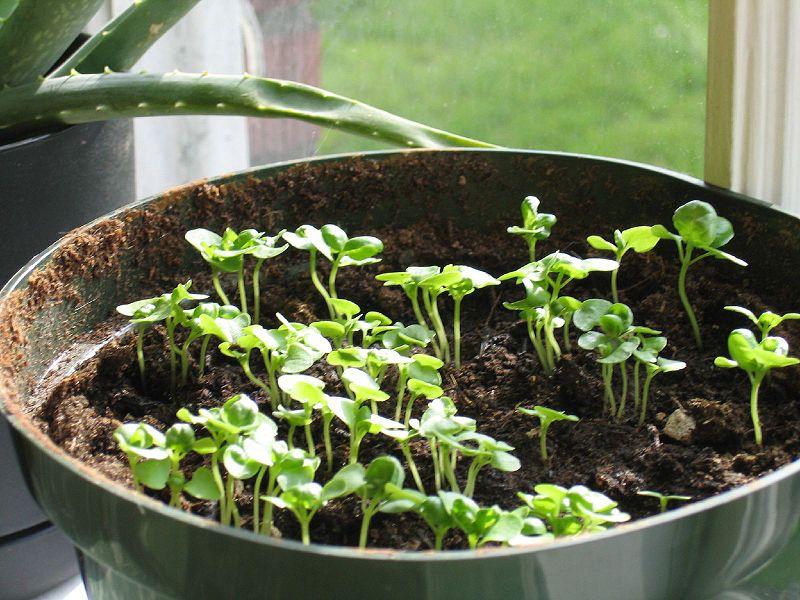 Когда сажать базилик на рассаду в домашних условиях