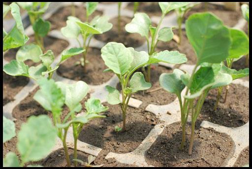 Когда сажать брокколи на рассаду - достоинства рассадного метода размножения