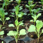 Когда сажать пекинскую капусту на рассаду