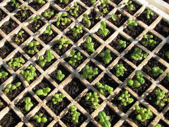 Когда сеять базилик на рассаду - выращивание пряности рассадным способом