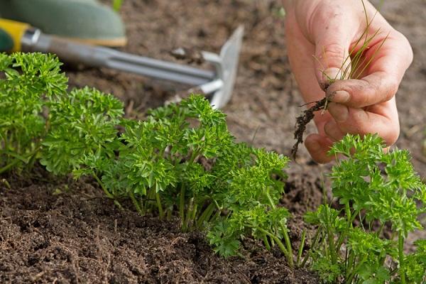 Когда сеять петрушку в открытый грунт - морозоустойчивость растения