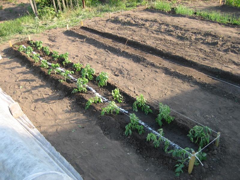 Когда высаживать рассаду помидоров на грядку