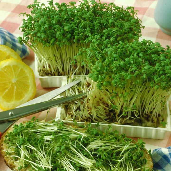 Кресс-салат выращивание на подоконнике как собрать урожай салата