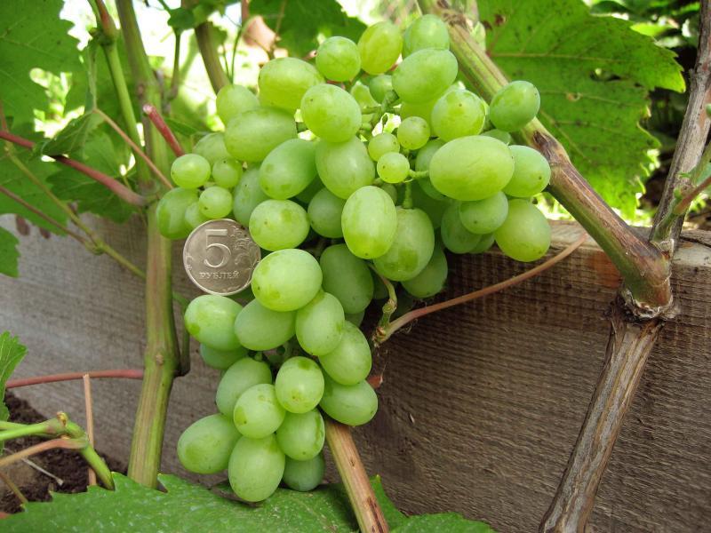 Крупные сладкие ягоды винограда сорта Гарольд