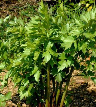 Любисток выращивание и уход полезные свойства культуры
