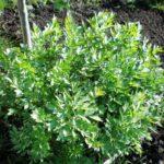Любисток: выращивание и уход