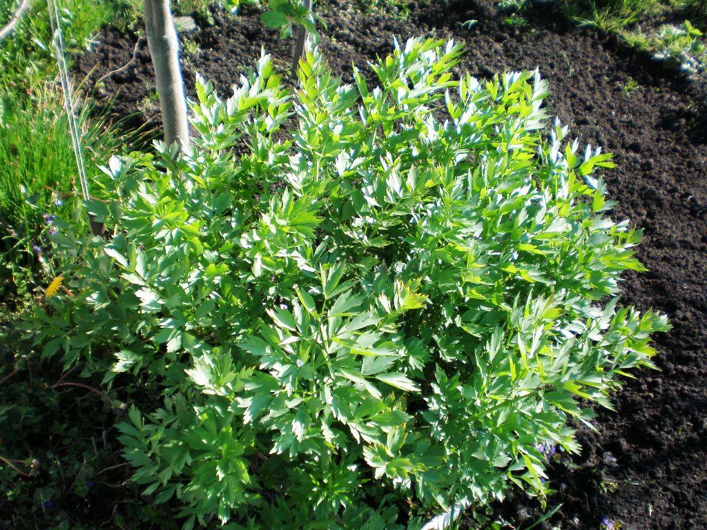 Любисток выращивание и уход в открытом грунте
