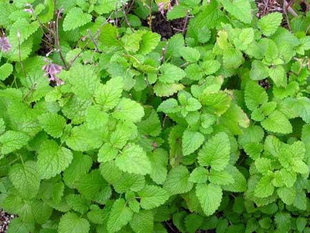 Мелисса лекарственная выращивание из семян, посадка и уход