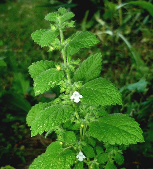 Мелисса выращивание из семян - как цветет мелисса