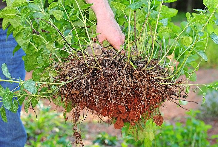Мелисса выращивание из семян на садовом участке