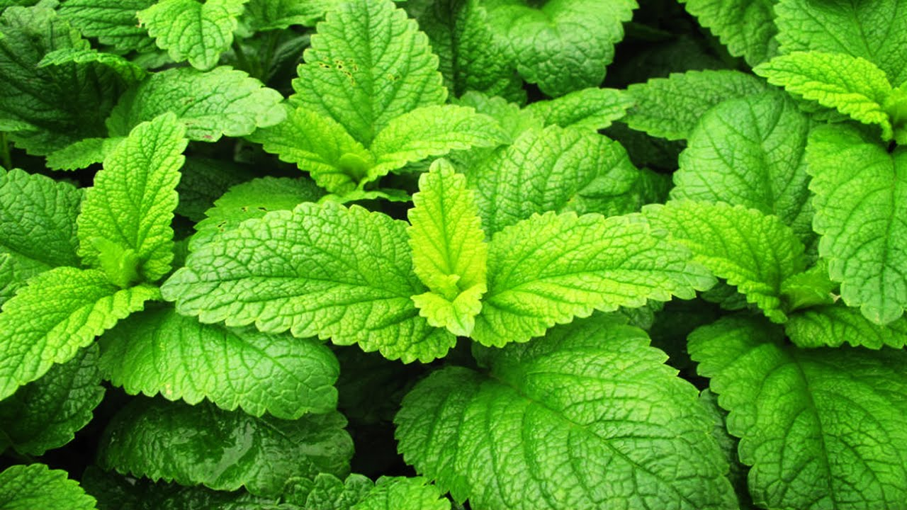 Мелисса выращивание из семян - полезные свойства растения