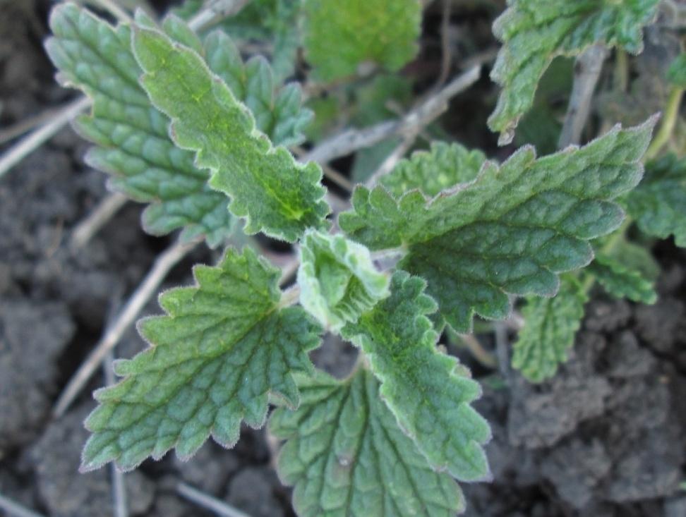 Мелисса выращивание из семян, полив, подкормка растения