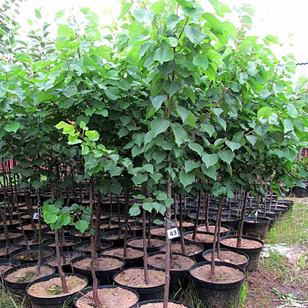 Молодые саженцы абрикоса краснощекого для посадки на садовом участке