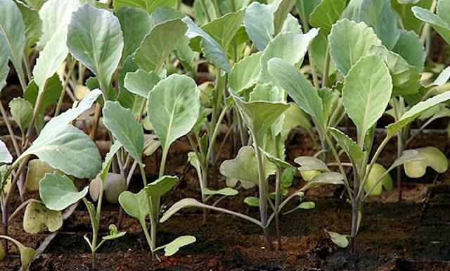 Молодые всходы рассады капусты брокколи
