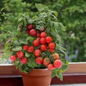 Низкорослые помидоры черри как вырастить дома