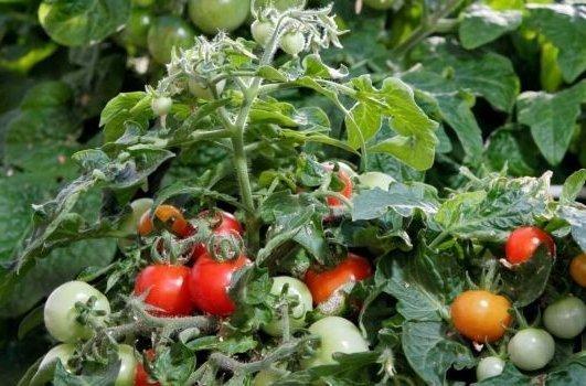 Низкорослые помидоры дубок выращивание в открытом грунте