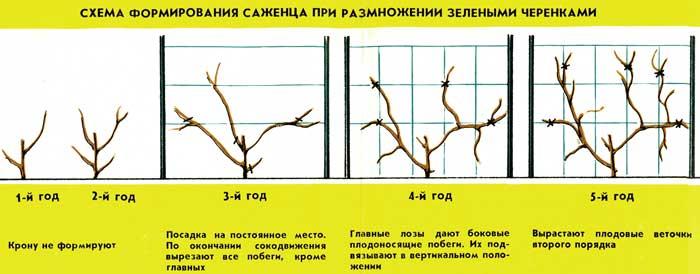 Обрезка актинидии - как сформировать крону лианы