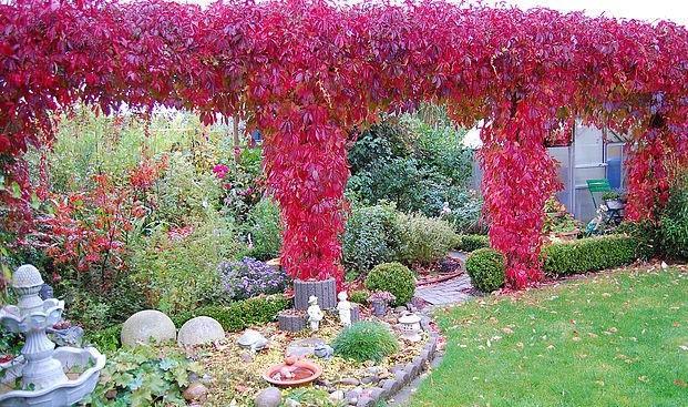 Оформление арок и беседок с помощью декоративного винограда
