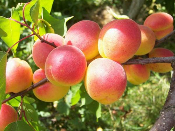 Оранжево-розовые плоды абрикоса краснощекого