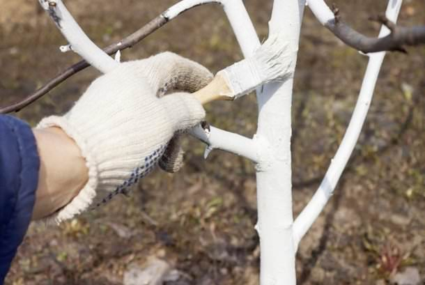 Осенняя побелка ствола дерева абрикоса