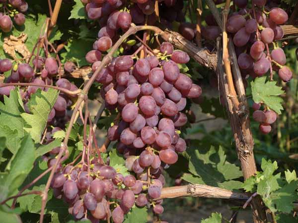 Особенности культивации винограда Виктория