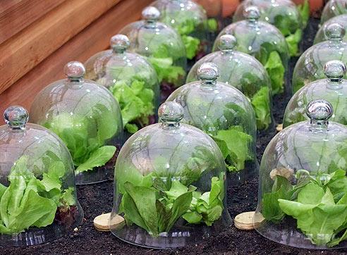 Пекинская капуста выращивание - советы как защитить рассаду