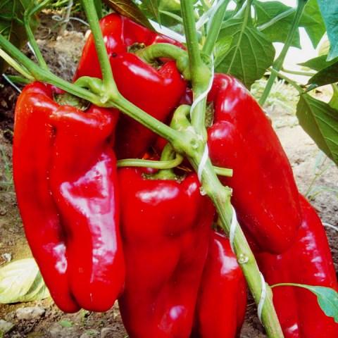 Перец Красный бык как вырастить сочный овощ своими руками