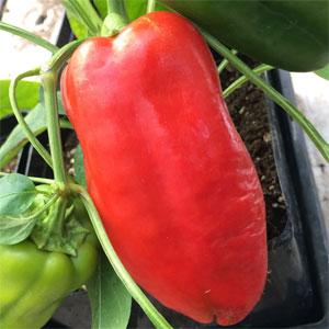 Перец Купец особенности плодов