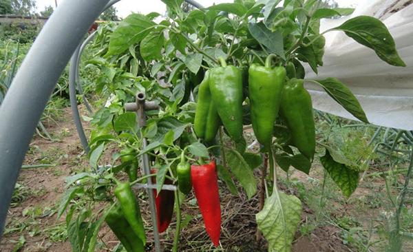 Перец Воловье ухо преимущества овоща
