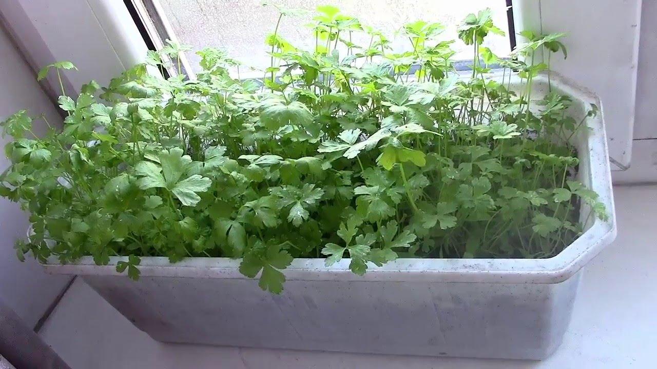 Сорта петрушки для выращивания на подоконнике