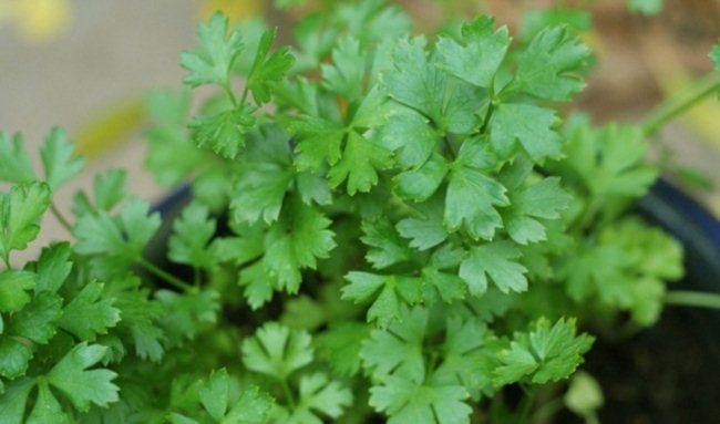 Петрушка на подоконнике выращивание из семян - культивация в домашних условиях