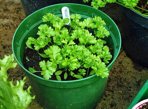 Петрушка на подоконнике выращивание из семян - уход за молодыми всходами