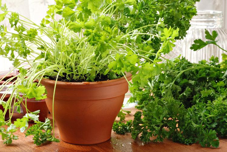 Петрушка на подоконнике выращивание из семян - зелень круглый год