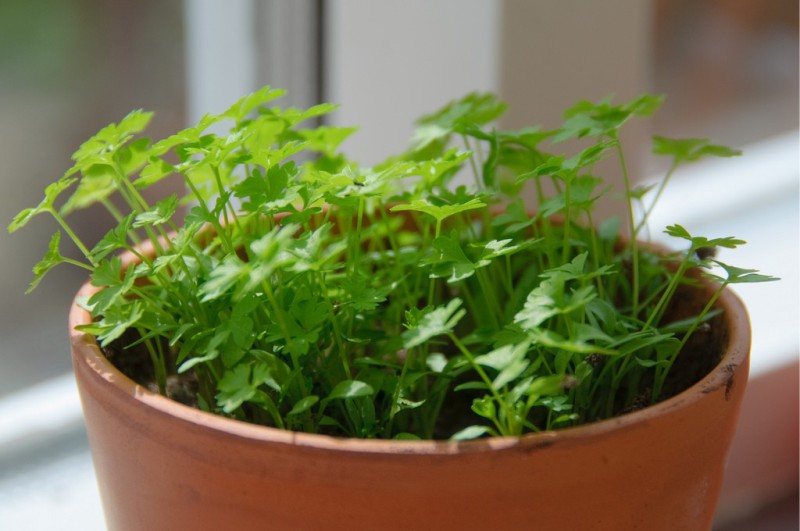 Петрушка на подоконнике выращивание из семян - зеленый мини-огород