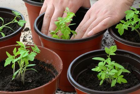Пикировка рассады помидор и рассаживание по отдельным горшочкам