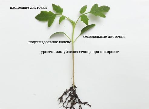 Пикировка рассады томатов - особенности процедуры
