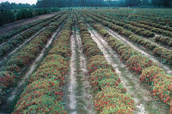 Плантация брусники садовой