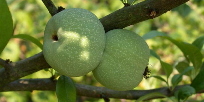 Плоды айвы японской - время созревания сентябрь-октябрь для средней полосы
