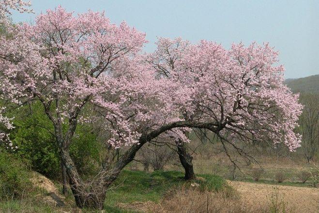 Почему абрикос цветет, но не плодоносит - отсутствие опыления