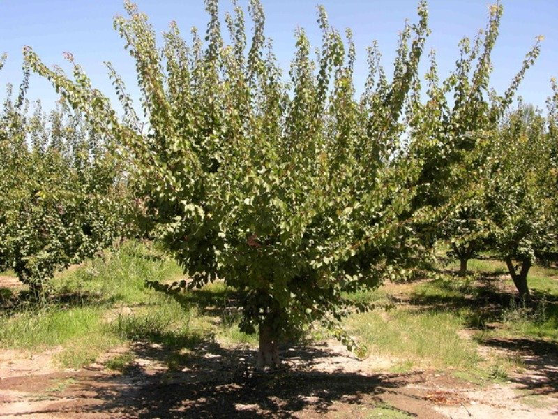 Почему не плодоносит абрикос - как устранить проблему